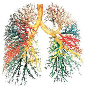 Bronchopulmonary Tree