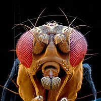 [Image: drosophila.jpg]